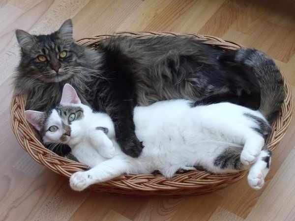 Harga kucing maine coon dewasa dan anakan