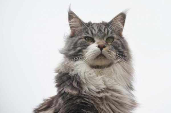 Harga kucing maine coon terbaru