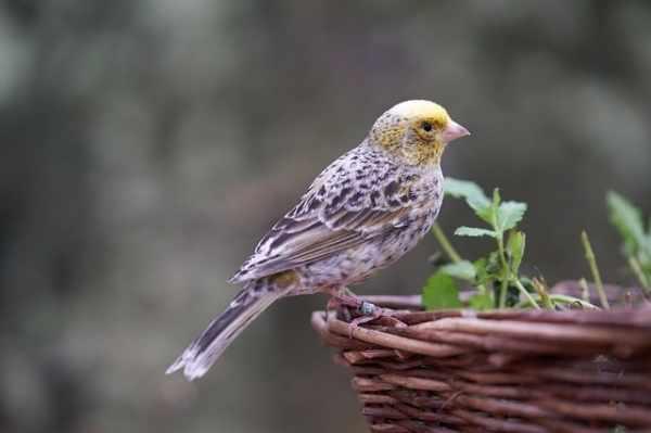 Jenis burung kenari gacor