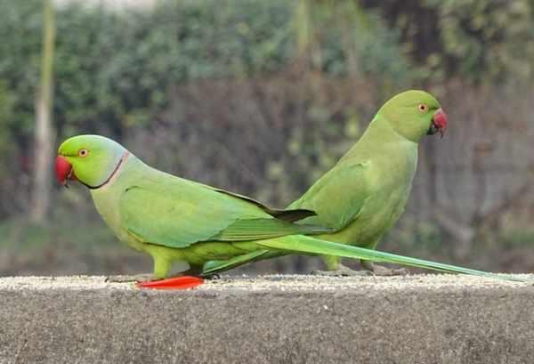 Makanan burung parkit agar cepat bertelur
