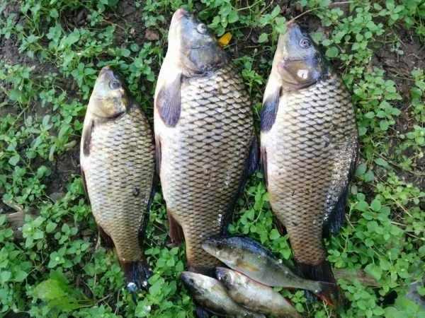 Manfaat, jenis, harga ikan nila lengkap