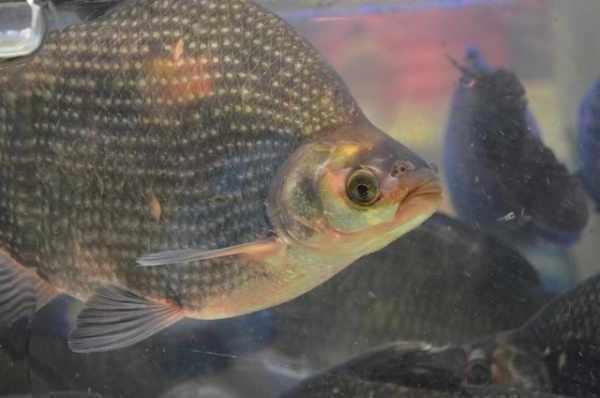 18 Pakan Ikan Nila Agar Cepat Besar Dan Cara Membuatnya