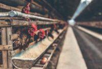 Cara membuat kandang ayam dari bambu dan kayu