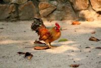 Harga ayam serama asli