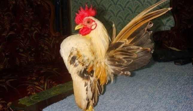 Harga ayam serama dewasa