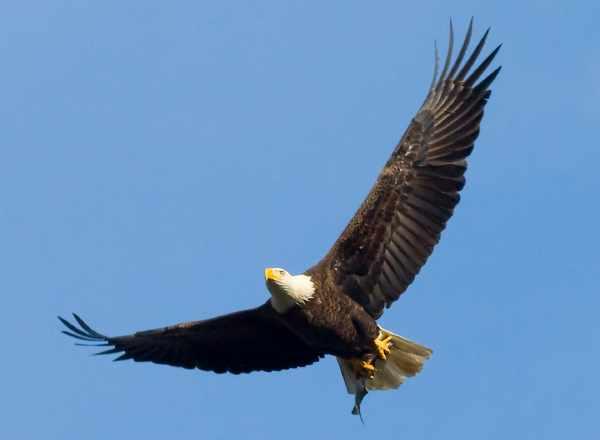 Harga burung elang anakan, brontok, bondol, golden eagle