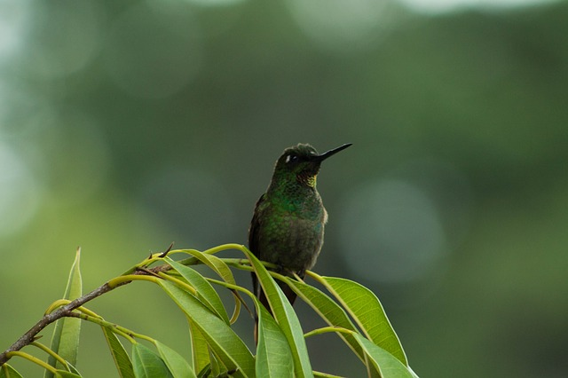 Harga burung kolibri ninja, kelapa, sriganti, ninja dada merah