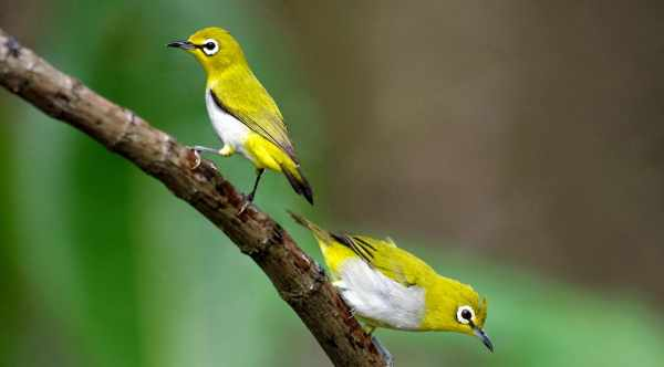 Harga burung pleci dakun, bustomi, lombok, auri, papua