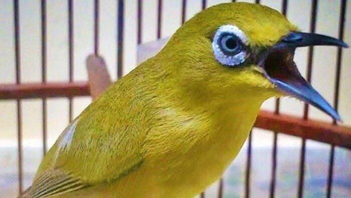 Harga burung pleci