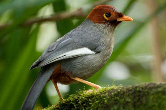 Harga burung poksay mandarin, hongkong, jambul, mantel