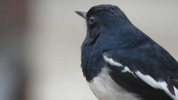 Cara membedakan burung murai jantan dan betina