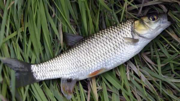 Cara membuat umpan ikan belanak di sungai, muara, laut