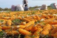 Cara menanam jagung manis hibrida