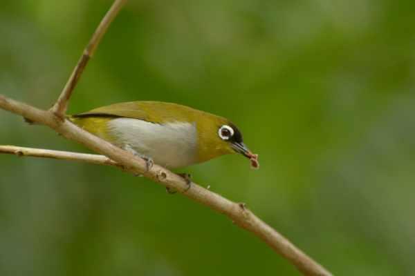 Cara merawat burung pleci biar gacor