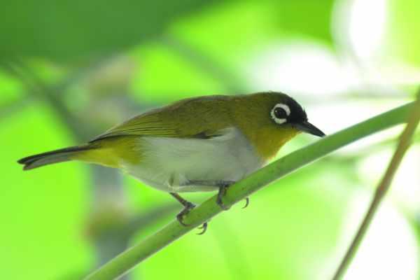 Cara merawat burung pleci biar ngekek panjang