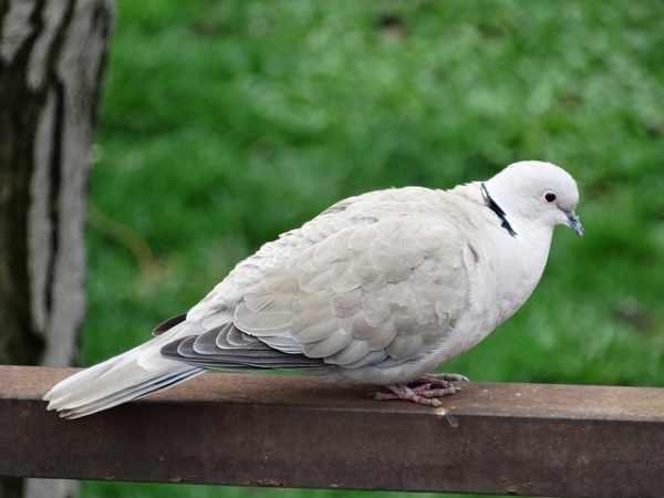 Harga burung dara