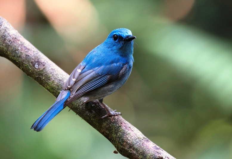 Harga burung tledekan laut, biru, bambu, gunung