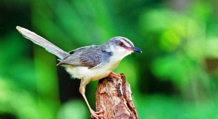 Jenis-jenis burung ciblek dan harganya