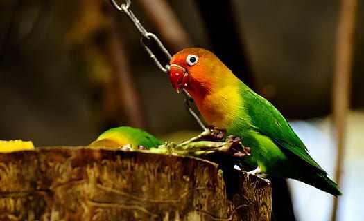 Makanan burung lovebird agar gacor dan ngekek panjang