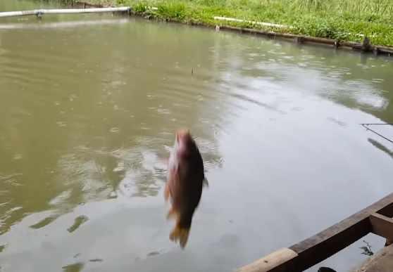 Umpan ikan mas air keruh