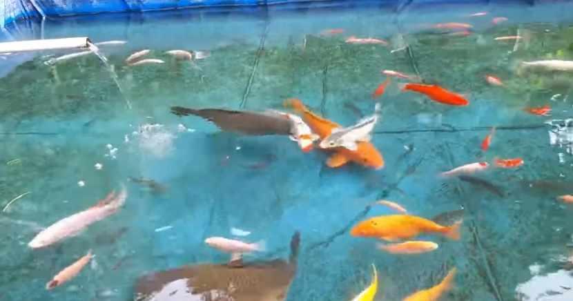 18 Racikan Umpan Ikan Mas Paling Jitu Terbaru Sudut Kebun
