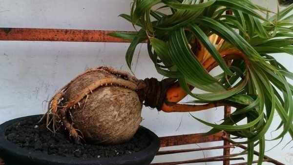 Cara membuat bonsai kelapa cepat berbuah