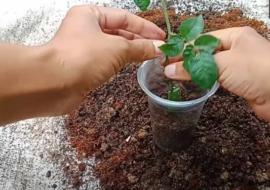Cara menanam bunga mawar dalam pot