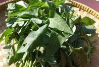 Cara menanam kangkung darat dan air