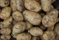 Cara menanam kentang yang baik dan benar