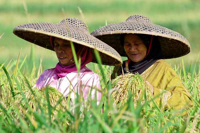 Cara menanam padi sampai panen