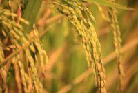 Cara menanam padi yang baik dan menguntungkan