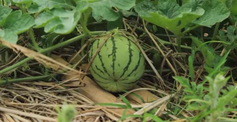 Cara menanam semangkat di pot