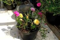 Cara merawat bunga mawar agar cepat berbunga