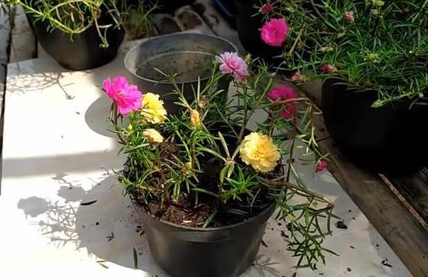 Cara Merawat Bunga Mawar Agar Cepat Berbunga Tidak Layu