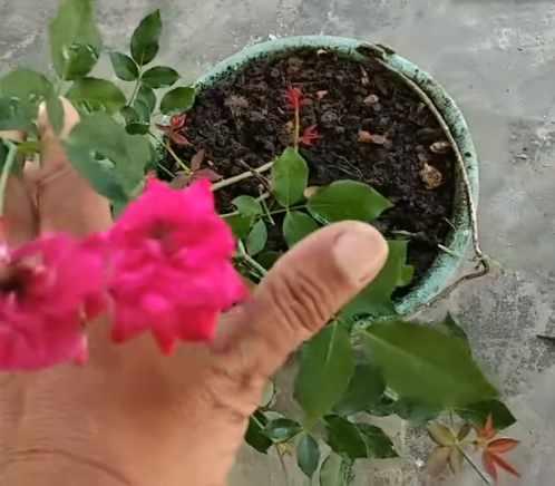Cara merawat bunga mawar agar tidak layu