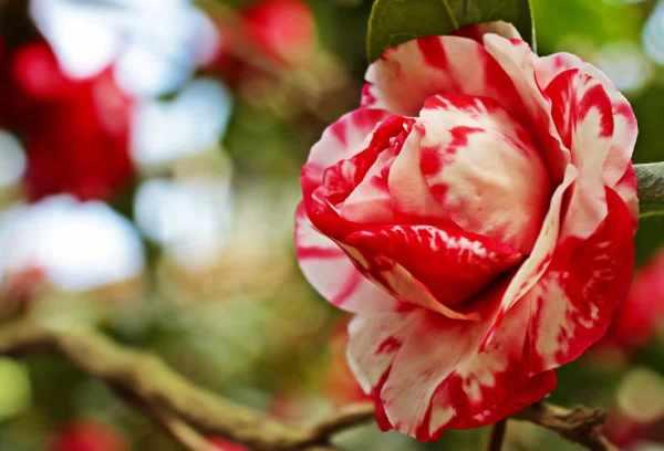 Karakteristik bunga mawar