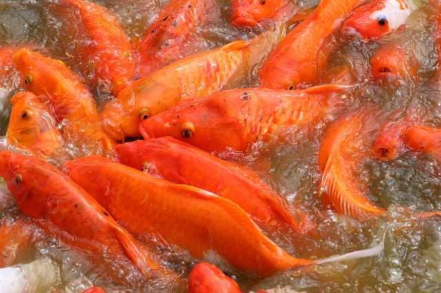 Makanan ikan koi biar cepat besar