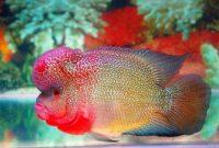 Makanan ikan louhan supaya cepat besar