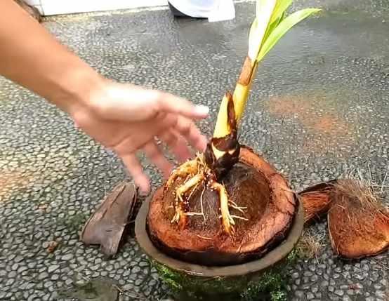 Menyiapkan media penanaman bonsai kelapa