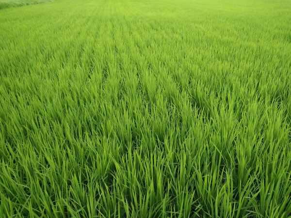 Menyiapkan media tanam padi