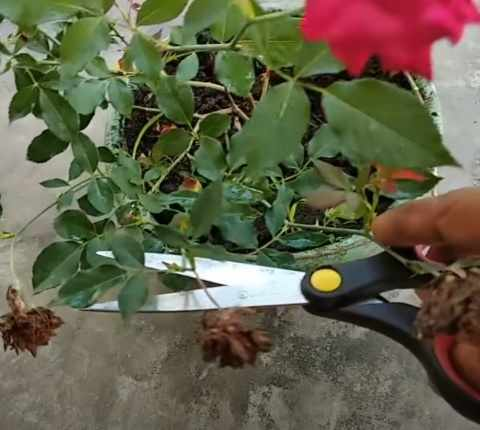 Pemangkasan Bunga Mawar
