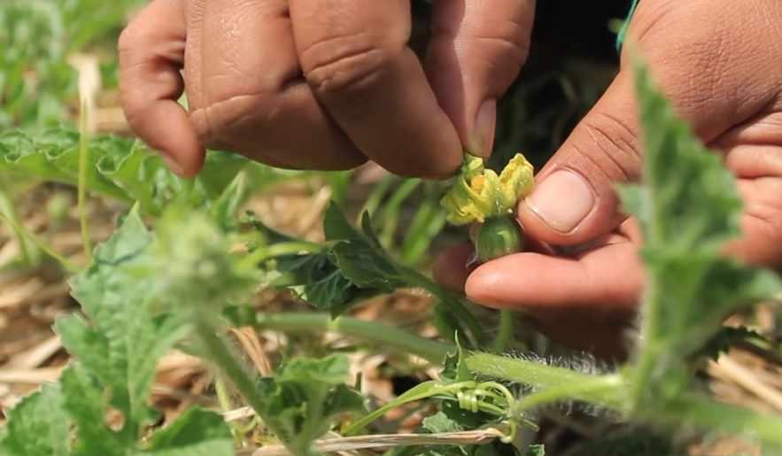 Pemangkasan cabang tanaman semangka