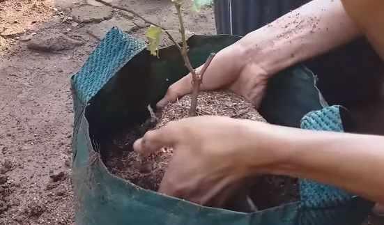 Pemupukan tanaman anggur