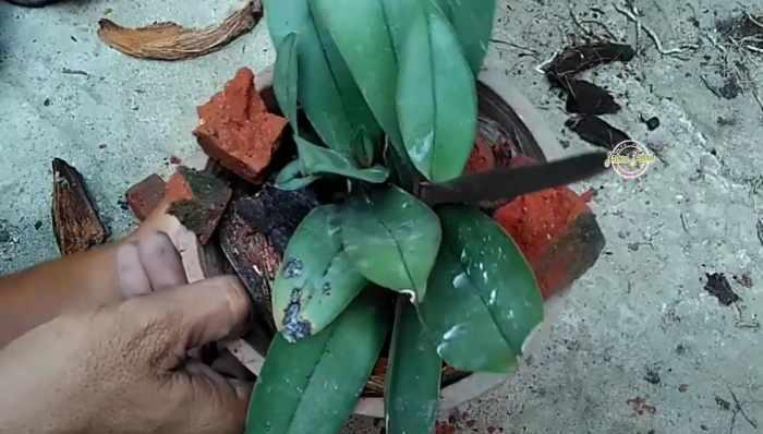 Penanaman bunga anggrek