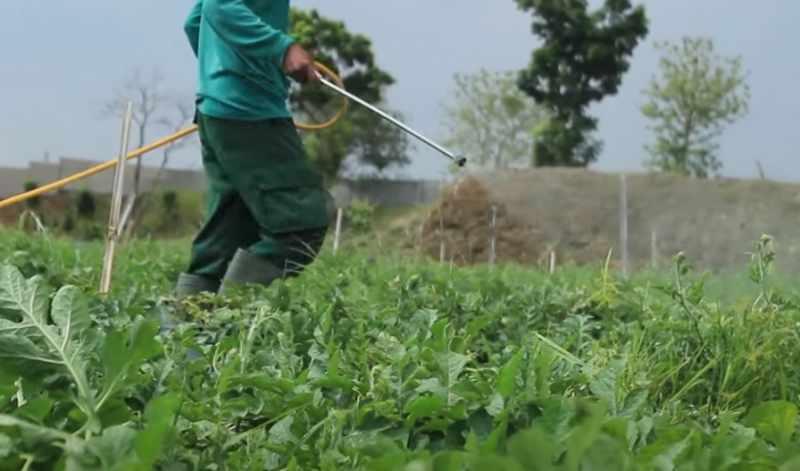 Penyiraman tanaman semangka