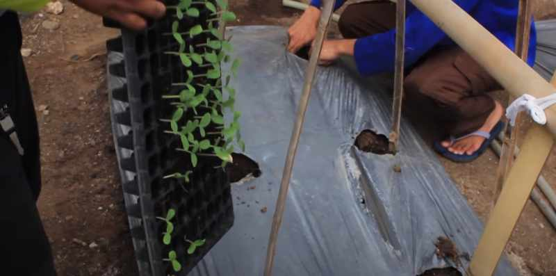 Proses menanam bibit semangka