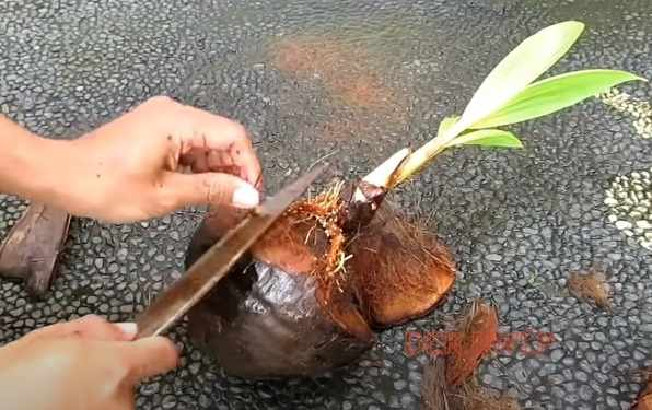 Proses pembersihan bulu halus batok kelapa