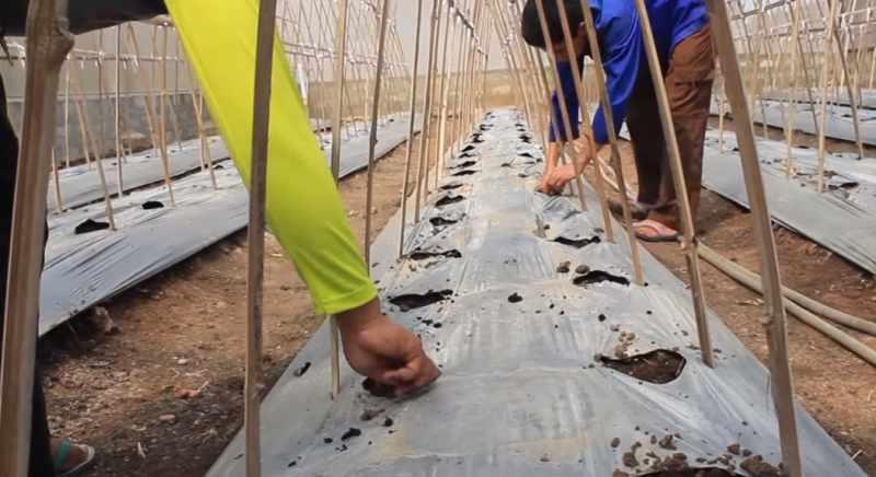 Proses pemupukan semangka