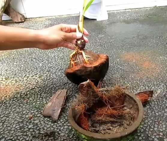 Proses penanaman bonsai kelapa