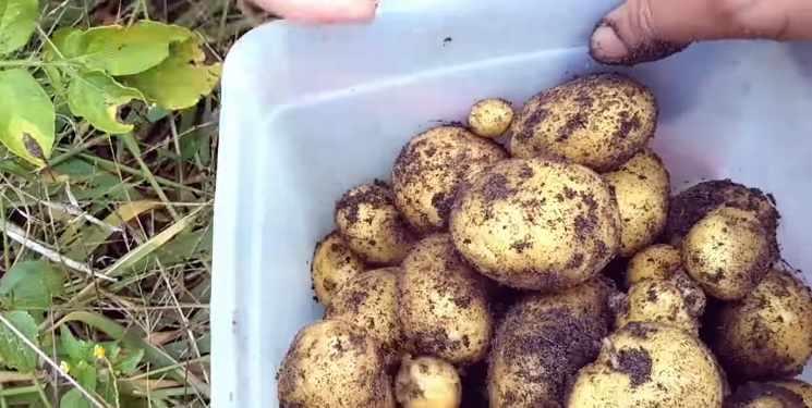 Tahapan panen kentang